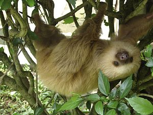 a 2-toed sloth at the Jaguar Rescue Centre in ...