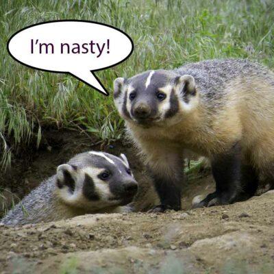 The Honey Badger Video
