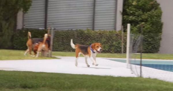 beagle-freedom2