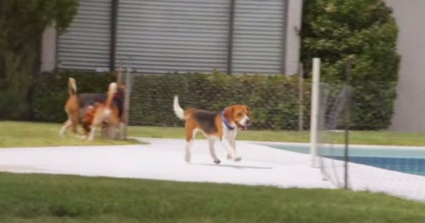 Beagles Rescue: Beagles Rescued From Animal Testing Lab Get To See Sunshine For The First Time