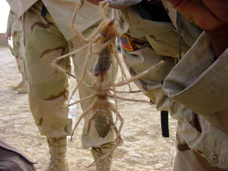 Camel Spiders Fighting
