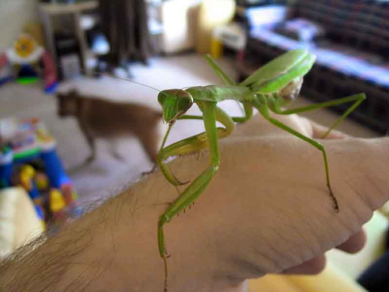Chinese Mantis - Biggest Bugs In The World