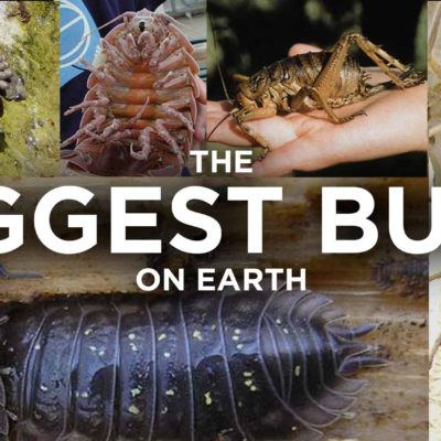 The Biggest Bugs In The World