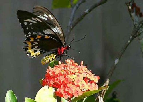 Queen Alexandra's Birdwing
