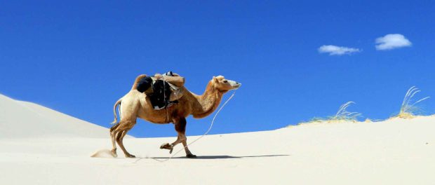 Camel Walking In The Desert - Camel Spider Facts