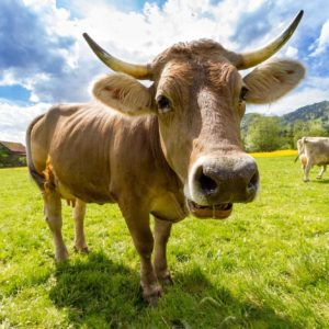 Cow Farts Collected For Global Warming Study
