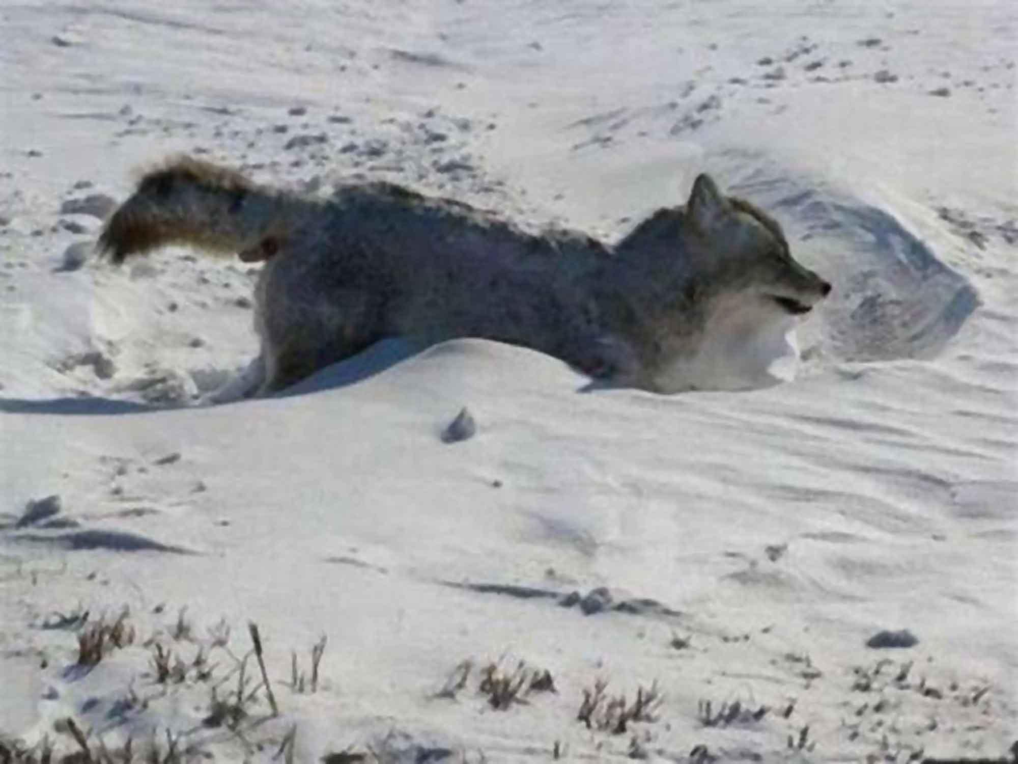 Frozen Coyote