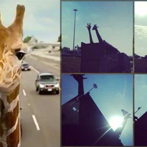 Giraffe Killed After Hitting Its Head on Highway Bridge