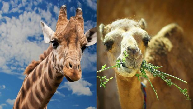 Giraffe vs Camel - Useless Facts And Trivia Questions