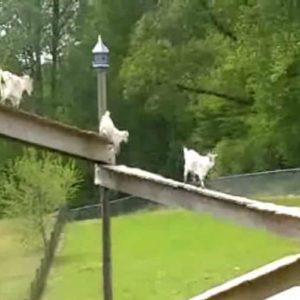 Creative Farmer Builds Elaborate Multi-Level Goat Bridge