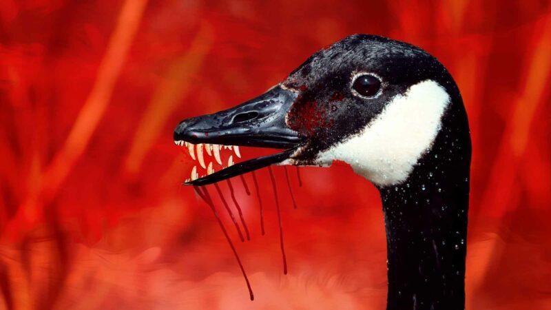 Goose Attack