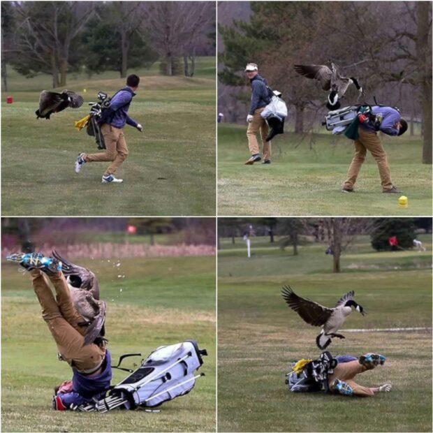 Goose vs Golfer