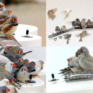 Watch 40 Wild Birds Play A Les Paul Electric Guitar
