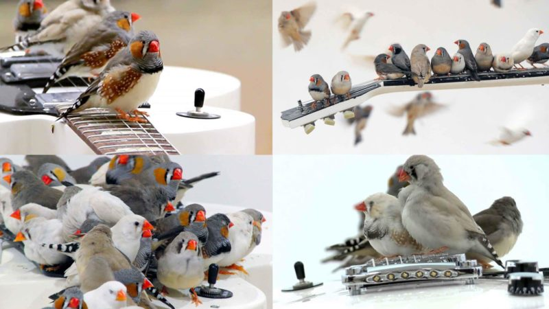 Birds Playing Guitar