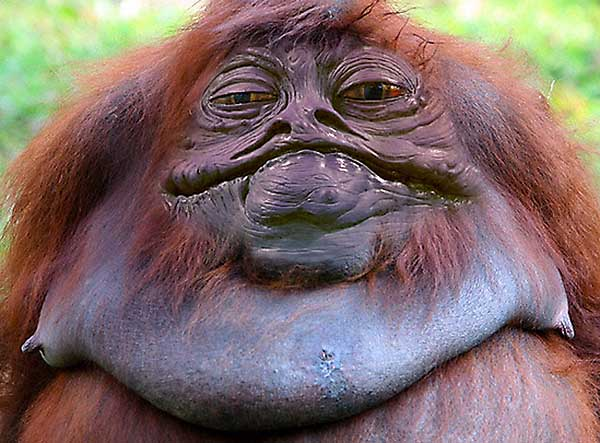 The Jabbarilla Is A Cross Between An Orangutans And Jabba The Hut - Funny Star Wars Pictures
