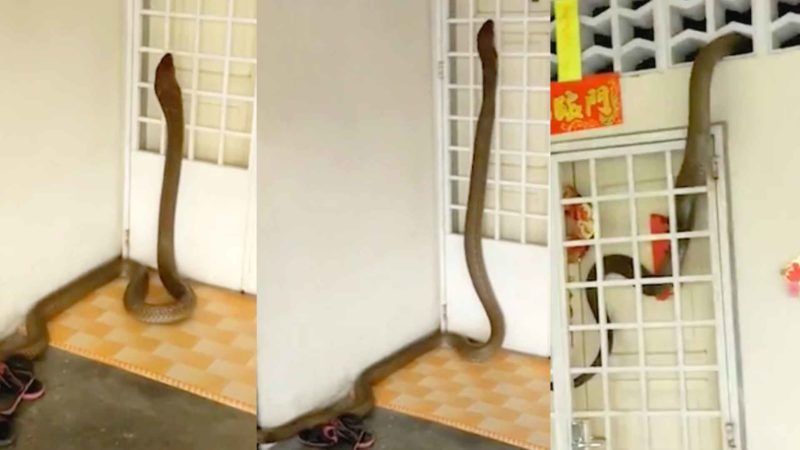 Family Discovers That They've Been Living with a Giant King Cobra Inside Their Home