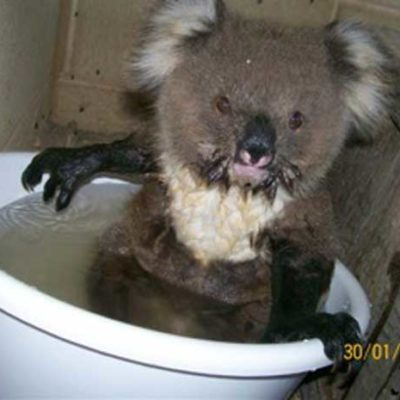 Koalas Begging for Water During Australian Heatwave