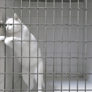 Watch This Escape Artist Cat Named Chamallow Pick Locks With His Paws