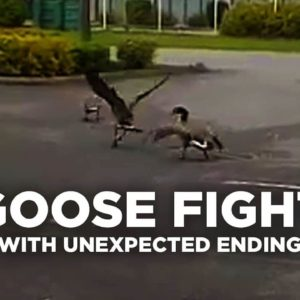 Goose Fight with Unexpected Ending