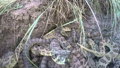 Gopro Vs Rattlesnakes