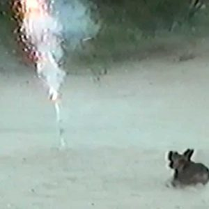 Watch People Run In Fear From A Dachshund With A Roman Candle Firecracker