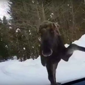 Moose Attack: Why You Shouldn't Stalk Them With Your Car
