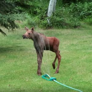 Baby Moose In Sprinkler Has Fun Dancing While Homeowners Quietly Watch From Inside