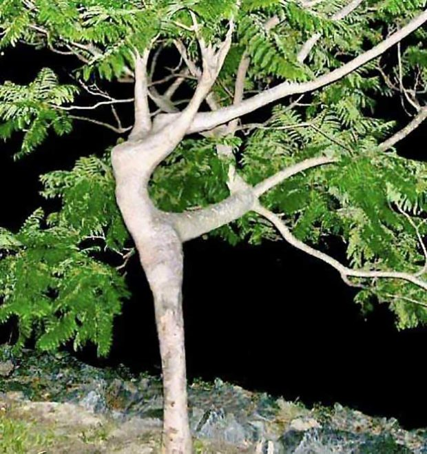 Tree Dancer
