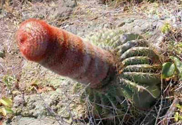 Penis Cactus