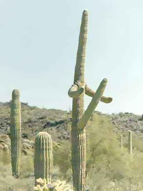 Plant Porn: Erect Cactus