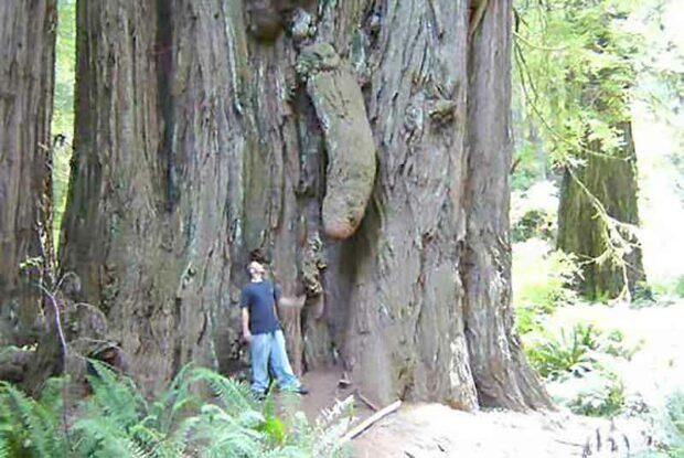 Plant Porn Penis Tree Trunk