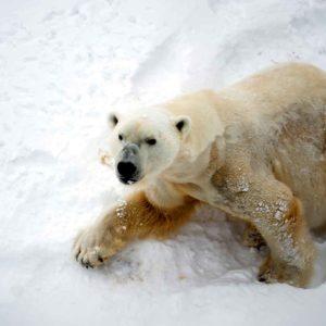 Adorable Photos of a Polar Bear Hugging Sled Dogs