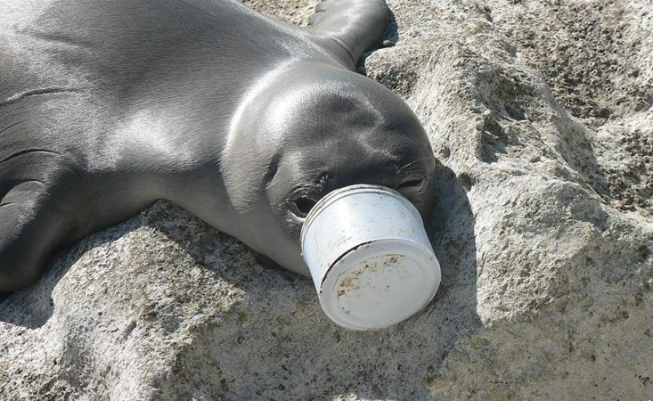 Seal Trapped In a Can