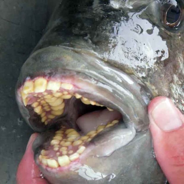 Sheepshead Fish Teeth