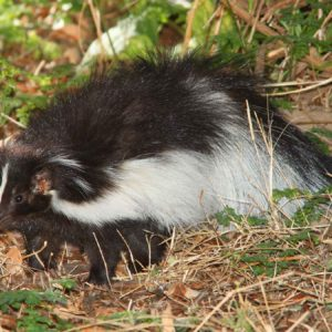 Here's How To Remove Skunk Smell From Your Pets Using Nature's Miracle Skunk Odor Remover