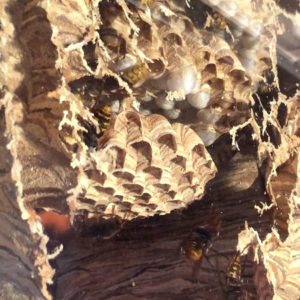 VIDEO: Massive Wasp Nest On Living Room Window