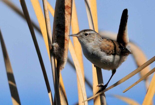 Marsh Wren Bird